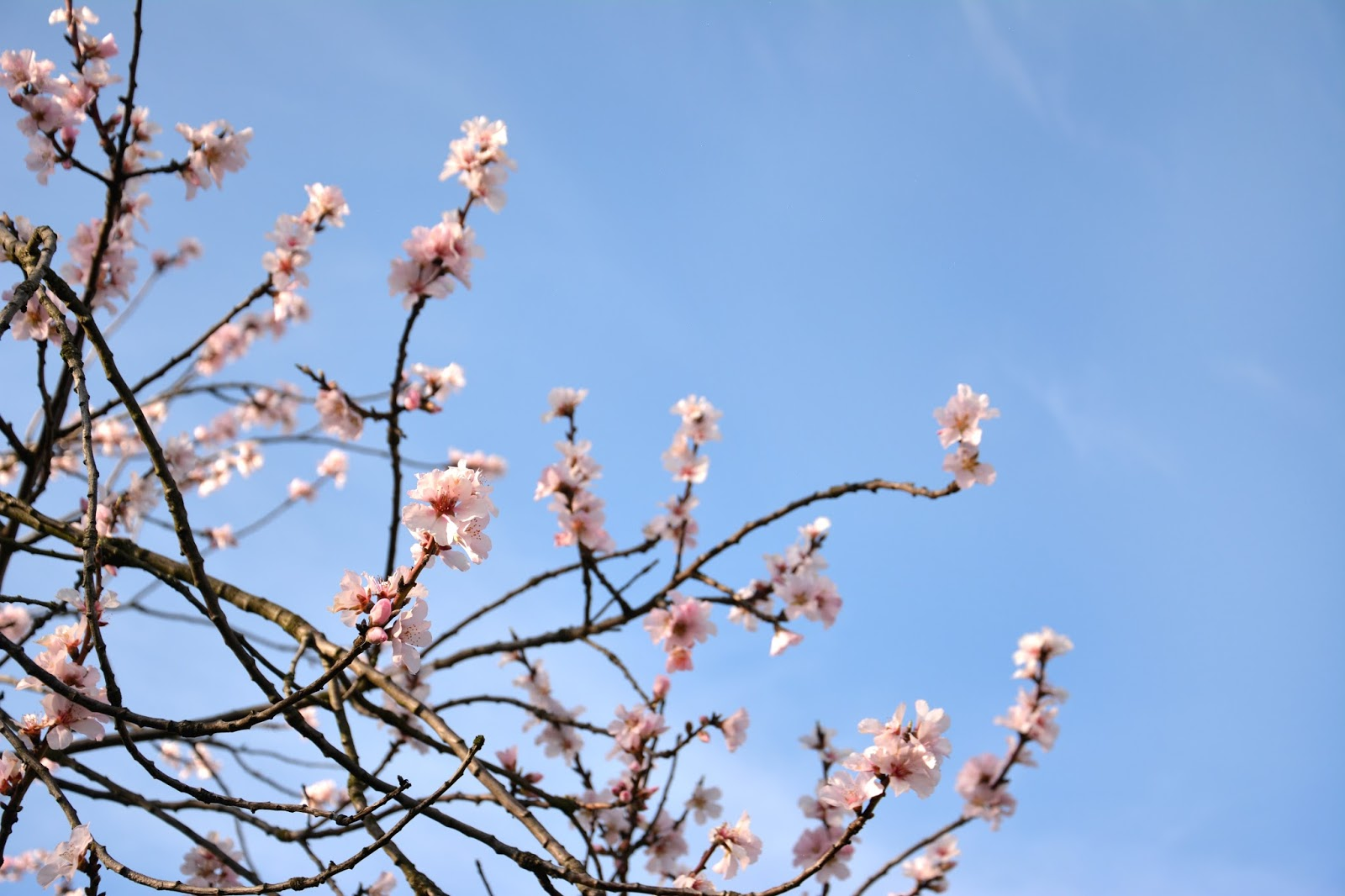 Pink Spring Flowers In Front Of Blue Sky