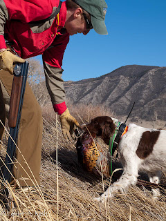 Brittany retrieves a pheasant