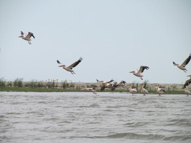 insula sacalin cu pelicani