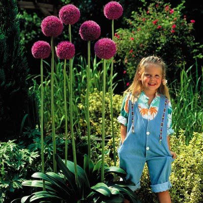 How to grow Allium giganteum from seed