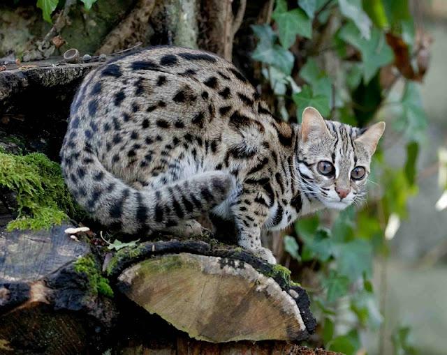 Jenis-Jenis Kucing Hutan dan Penjelasannya