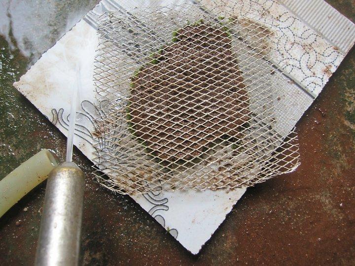 kinh nghiệm xử lý mini fiss thủy sinh bám đất lá cạn -  công đoạn làm sạch bằng vòi nước