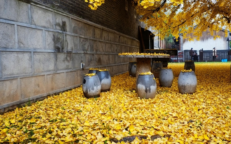 The Carpet of Golden Leaves Under The 1,400-Year-Old Chinese Ginkgo Tree