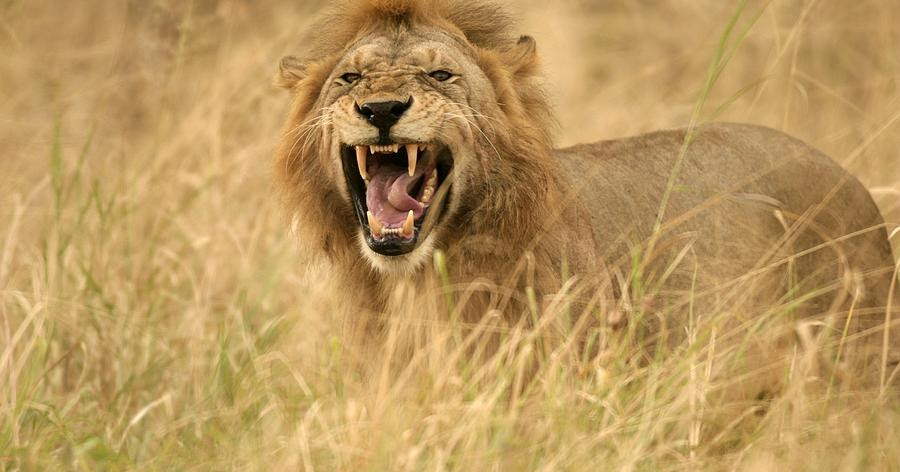 Beautiful And Dangerous Animals Birds Hd Wallpapers: African Lion Facts And Latest Pictures 2013