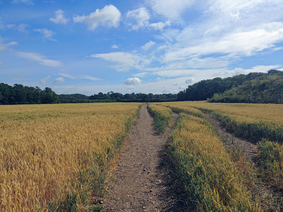 Hunsdon footpath 17 going through the crops as mentioned in point 1 below Photograph by Hertfordshire Walker released via Creative Commons