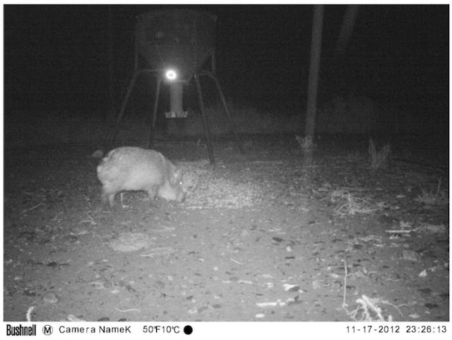 UFO Probe Seen Flying Over Wild Pigs In Texas On Animal Cam Screen%2BShot%2B2018-10-23%2Bat%2B4.50.50%2BPM