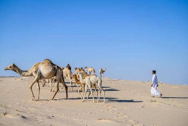 Camel calves photos released by Qatar National Tourism Council
