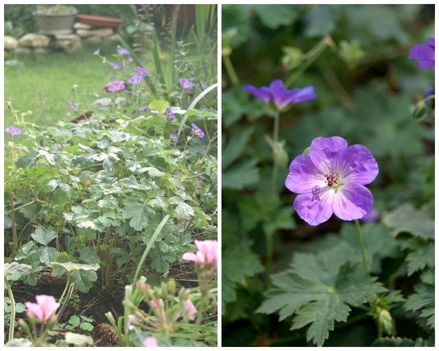 Garten Storchschnabel Geranium Rozanne Dauerblüher