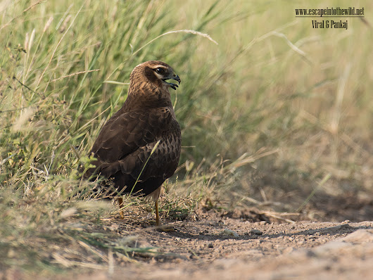 Montagu's Harrier | Escape into the wild