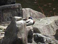 Male mallard sleeping near a pond in Kyoto, Japan - © Denise Motard
