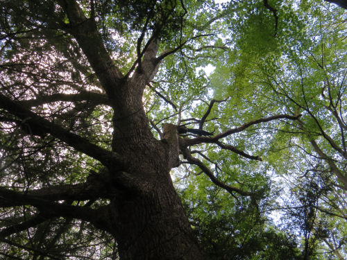 large white pine branches