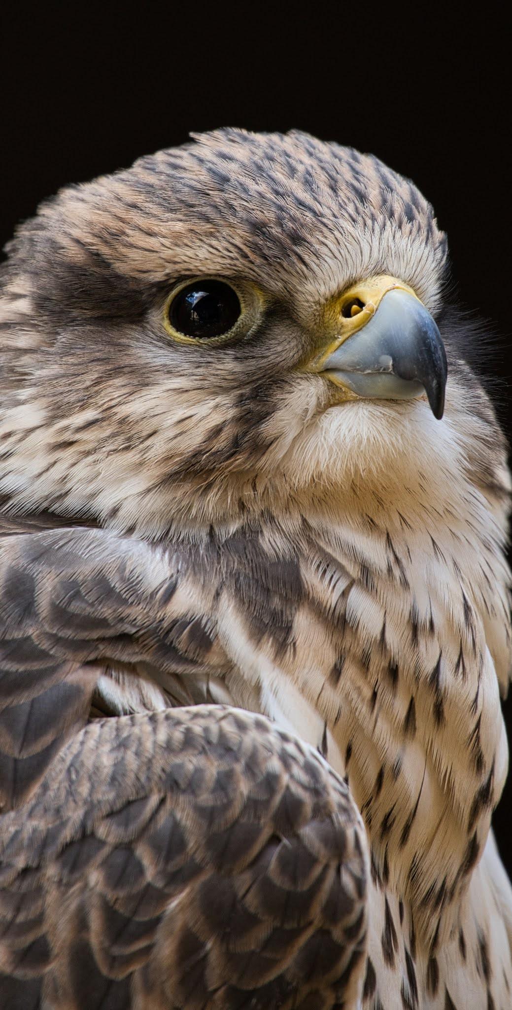 Falcon bird up close.