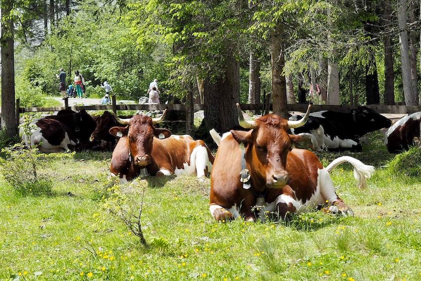 Kühe Krimml
