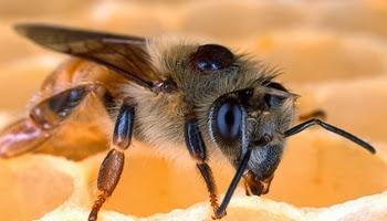простыми глазами пчёлы рассматривают предметы вблизи; но во время полётов они ориентируются при помощи сложных глаз.