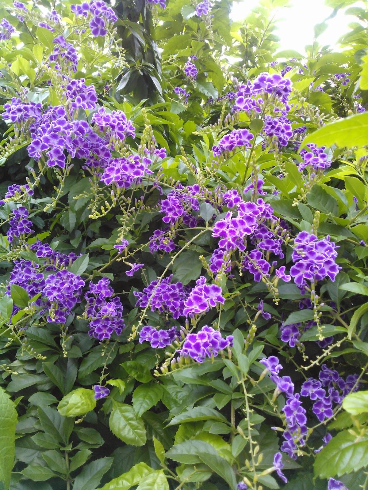 DWAN雲之端: 蕾絲金露花--英文名稱: Lace Golden Dewdrops,主要從事紡織布料之生產與加工,位於臺灣臺中,Purple Skyflower.;有別於金露花 ...