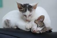 Penyakit Kucing Yang Mematikan dan Dapat Menyerang Manusia