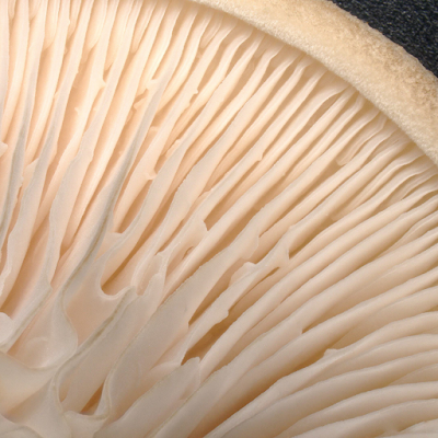 Oyster Mushroom Benefits