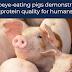 Porcos comedores de Ribeye demonstram qualidade de proteína para humanos.