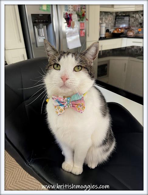 cute tabby cat wearing a jazzy bowtie, cat,  tabby cat