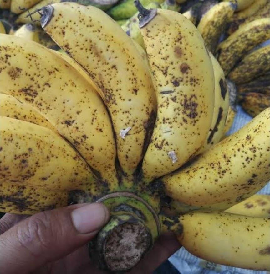 bibit pisang susu pisang dulang Sumatra Barat