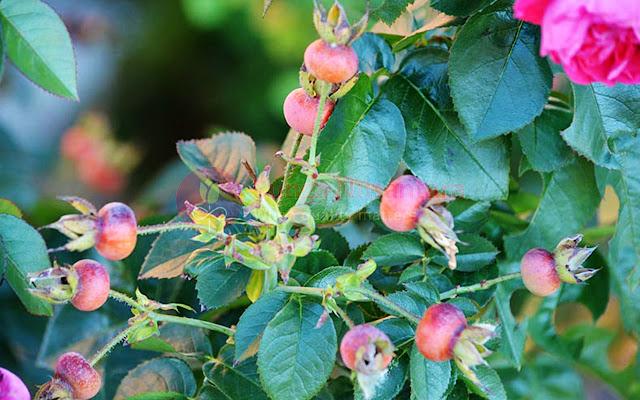 Buah Bunga Mawar