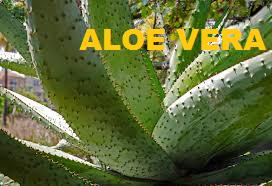 side-effects-of-aloe-vera