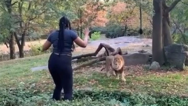 Video shows woman taunt lion and dance inside enclosure, New York, News, Humor, Lifestyle & Fashion, Dance, Woman, Video, America, World.