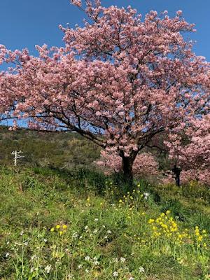 河津桜と菜の花と大根の花