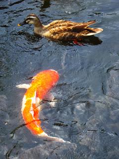 鴨を丸呑みしそうな巨大な鯉の写真