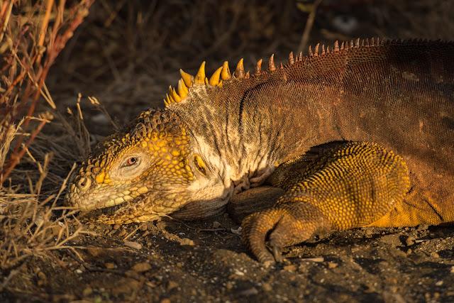 Galápagos Land Iguana, Puerto Egas