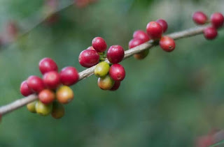 Coffee plant in Africa
