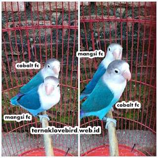 harga lovebird biru mangsi dan biru cobalt