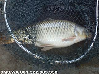 Essen Aroma Sereh Untuk Ikan Mas Galatama