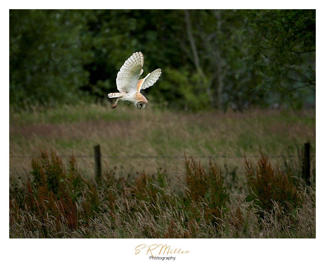 Barn Owl hover