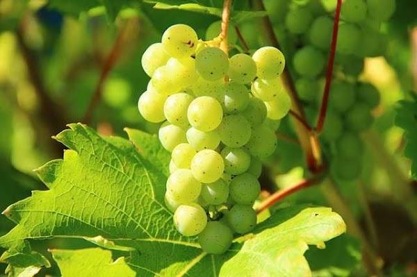 Kandungan Gizi Anggur untuk Kesahatan