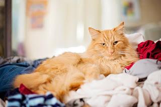 Por qué los gatos orinan en tu ropa y en tu cama