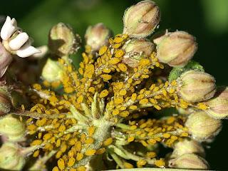 Puceron de l'Asclépiade - Puceron du Laurier rose - Aphis nerii
