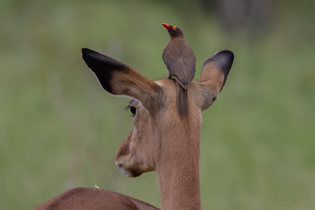 Impala with a Red-Billed Oxpecker Kruger National Park