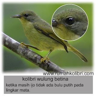 anakan kolibri muncang jantan