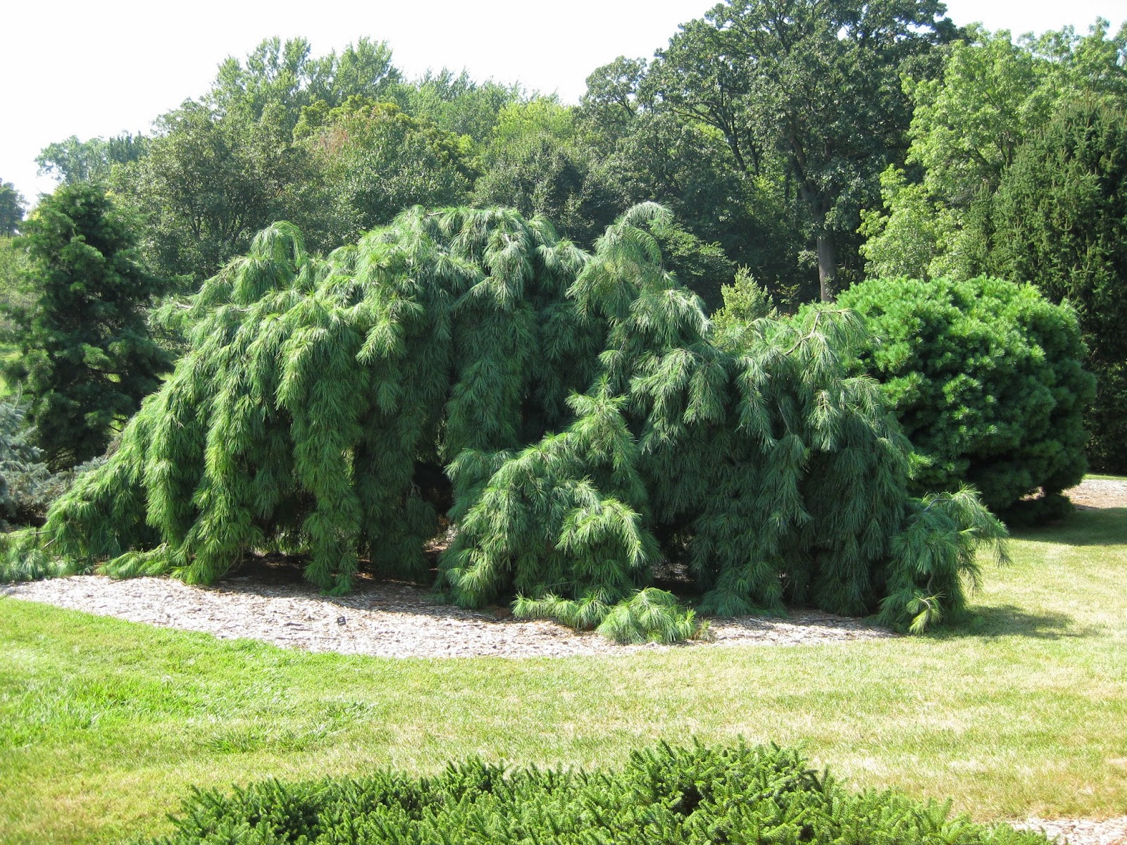 The Weeping White Pine Rotary Botanical Gardens