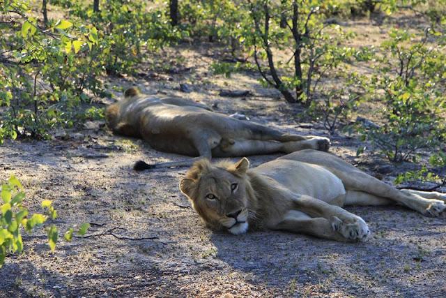 Leones en el Parque Kruger, Sudáfrica