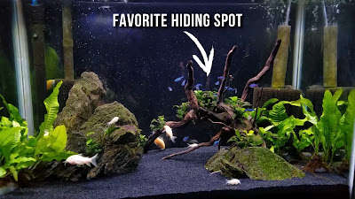green neon tetras like heavily planted aquariums
