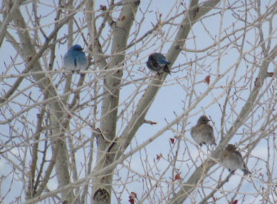 Mountain Bluebirds  photographed at Blakes' Pond (courtesy of LAS member Laurel Armstong).