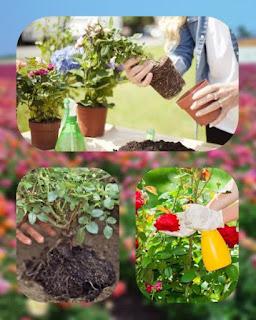 Cara Menanam dan Merawat Bunga Mawar