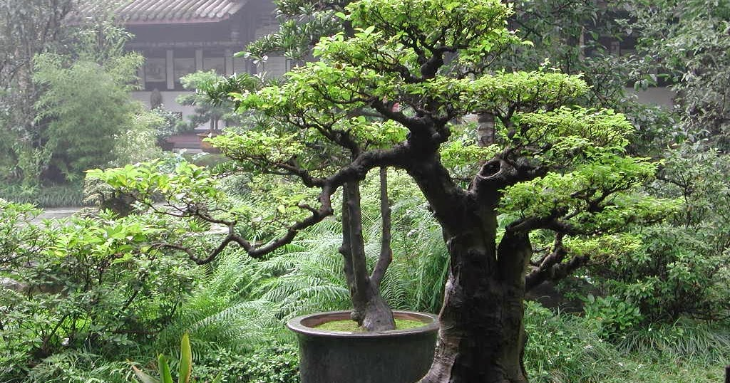 Bonsai Tree 15 Cozy Bonsai Trees Houston Inspirations