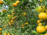 Topazindo Agrihorti, Jenis Buah Jeruk Baru dengan Kualitas Unggul
