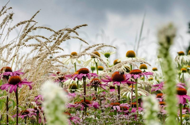 Echinacea purpurea ´Magnus´ y Echinacea purpurea ´Alba´