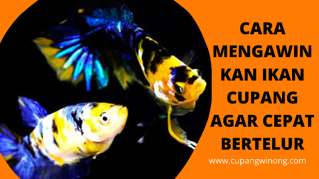Cara mengawinkan ikan cupang agar cepat bertelur