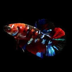 Jenis Ikan Cupang Ikan Avatar Ikan Dan Laut