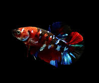 Jenis Ikan Cupang Ikan Avatar